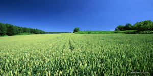 farm-scene-cornfields-amp-wheat-field600x300